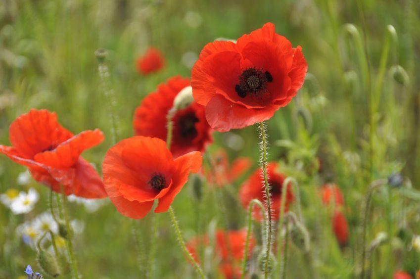 St Albans Poppy Field