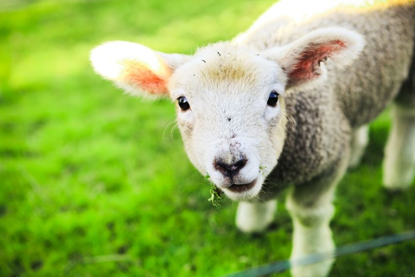 Lambing at Oaklands College