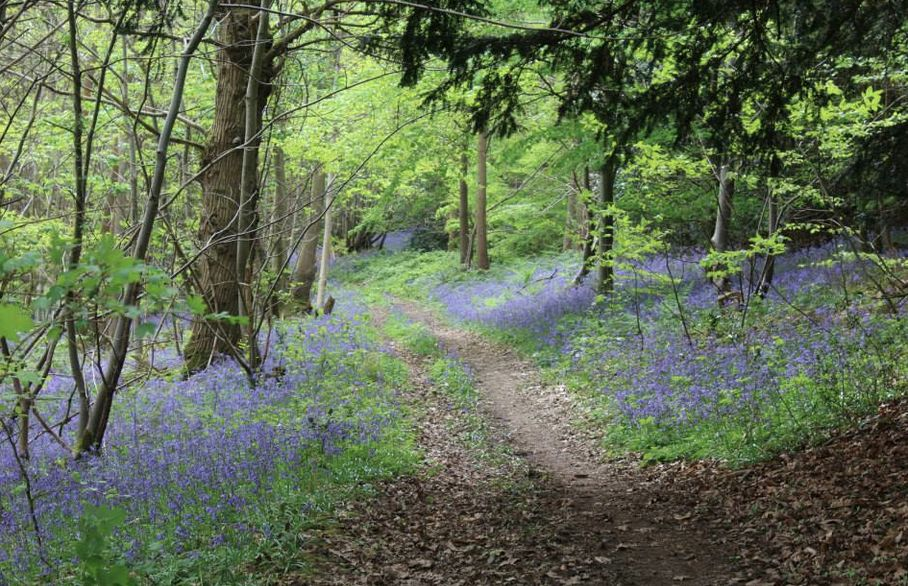 Explore the bluebell woods in Surrey…